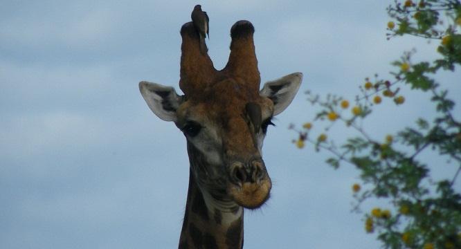 Girafe- Sénégal